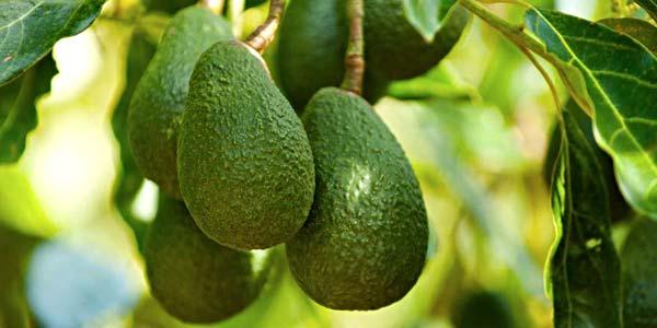 авокадо-растёт