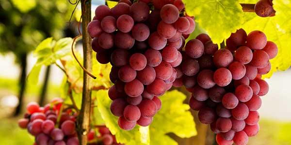 виноград-на-ветке
