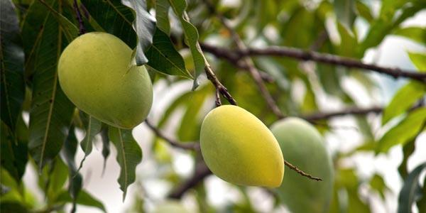 манго-на-дереве