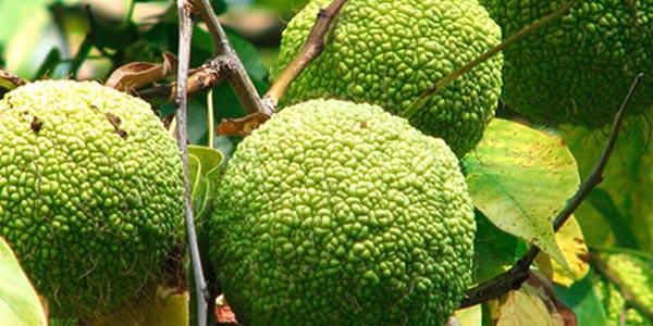 Яблоко-адама-на-верке