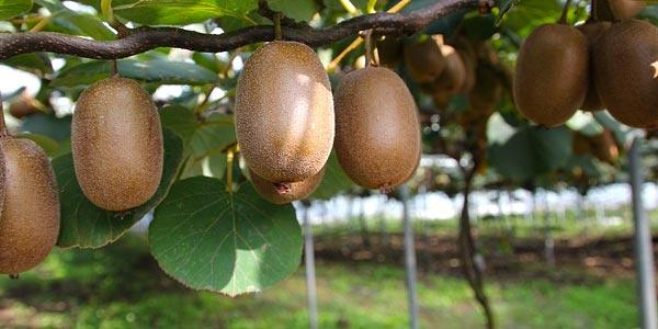 киви-дерево