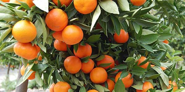 мандариновое-дерево
