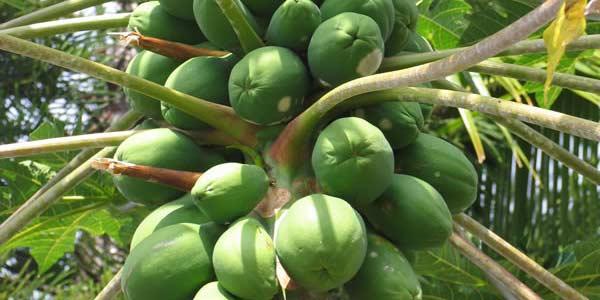 папайя-на-дереве