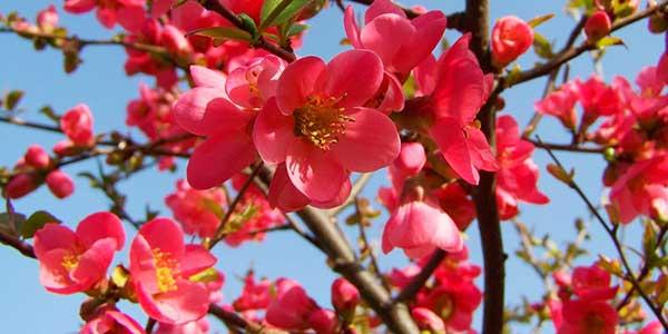цветение-айвы