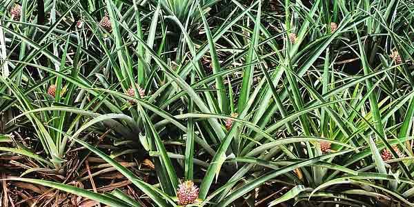 ананасовая-плантация