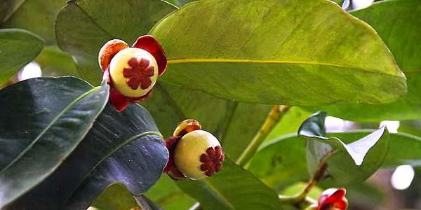 мангостин-на-дереве