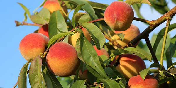 персик-на-дереве