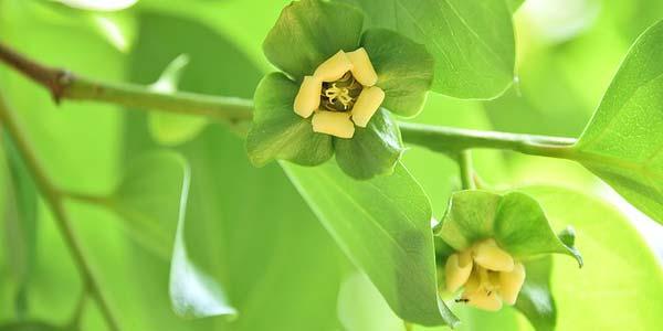 цветение-хурмы