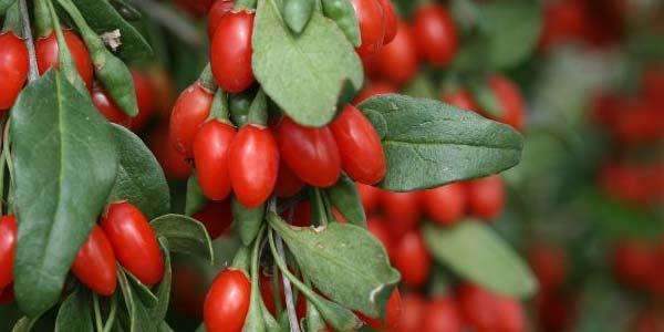 ягоды годжи сушеные факты