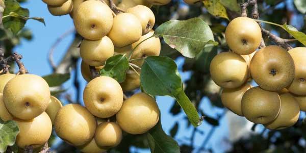 плоды-на-ветке