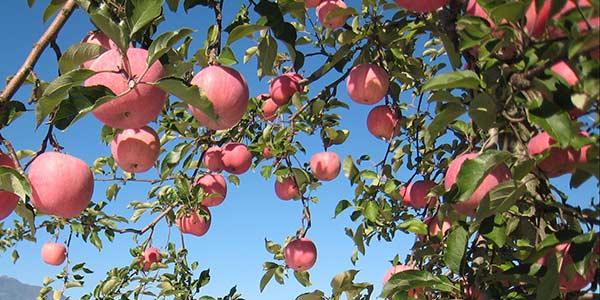 яблоня-