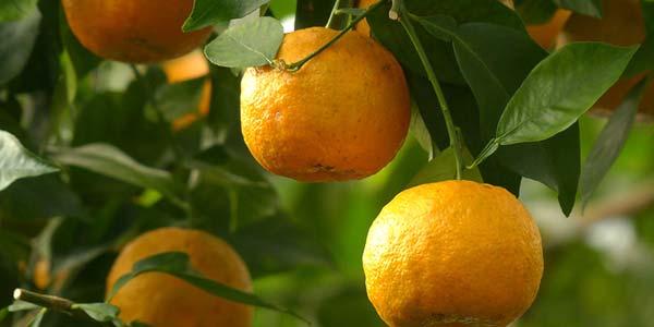 дикий-апельсин