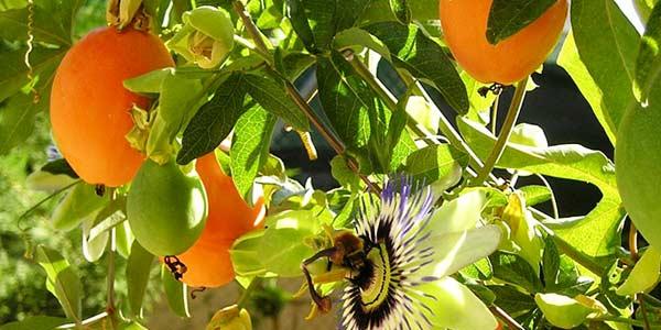 пасифлора-растущая