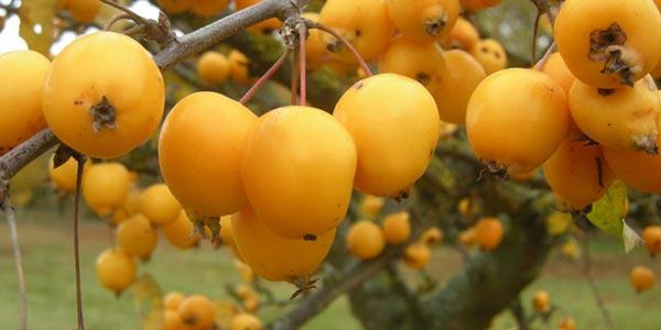 растёт-фрукт