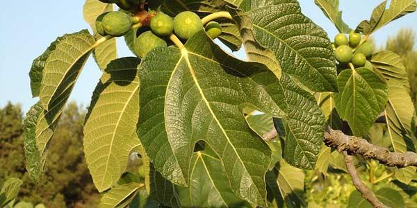 фиговое-дерево