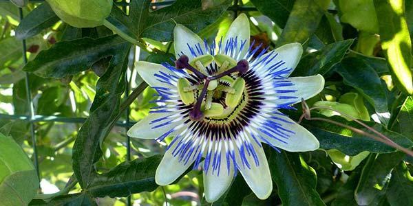 цветок-гранадиллы