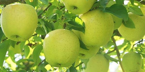 яблоня-голден