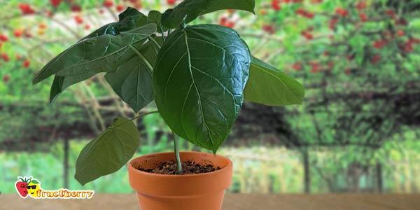 выращивание-помидорного-дерева