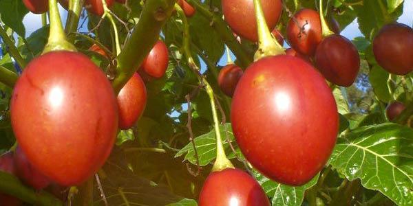 томатное-дерево