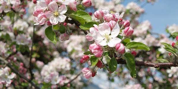 цветение-хорнетjpg