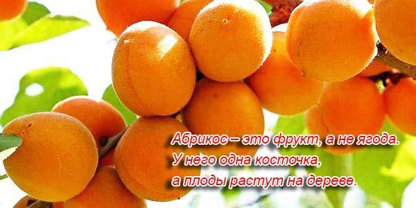 абрикос полезный фрукт