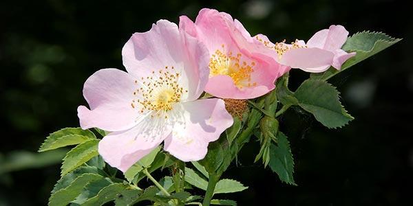 цветение-ш