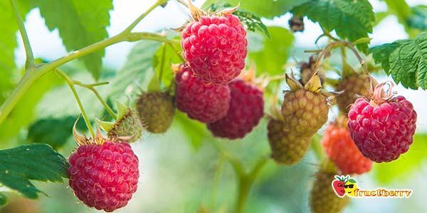 куст-ягод
