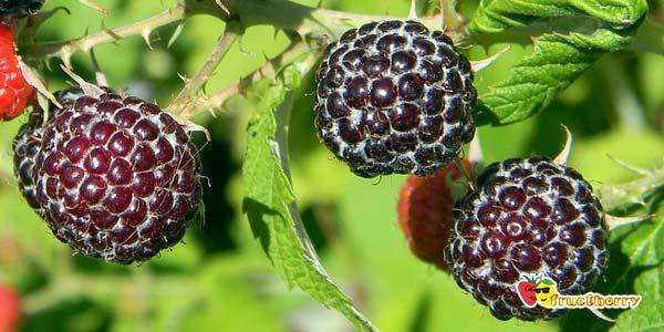 чёрные-ягоды
