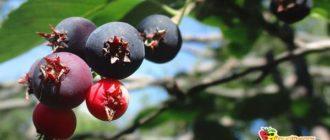 ягоды-коринки-