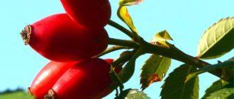 ягоды-шип