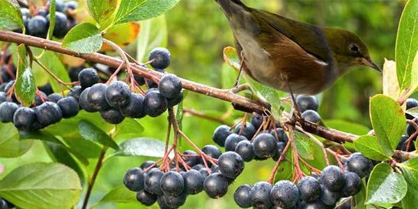 Черноплодная рябина, польза и вред для здоровья, что лечит ягода