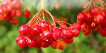 ягода-калина