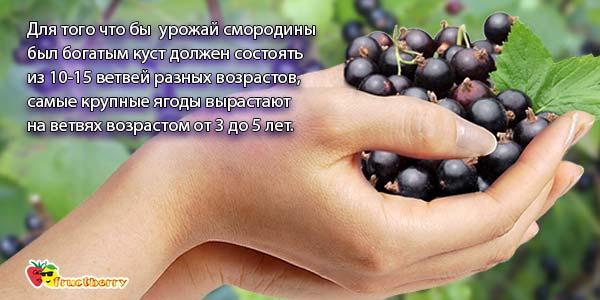 урожай-смородины