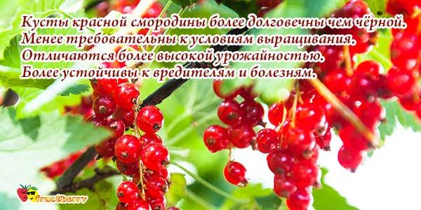 Выращивание смородины красной