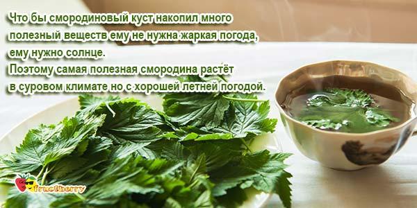 Польза-листьев-смородины-черной