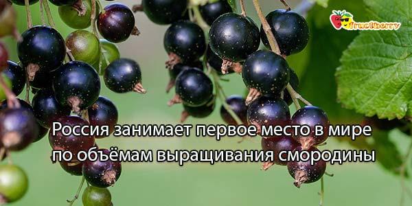 Чёрная ягода