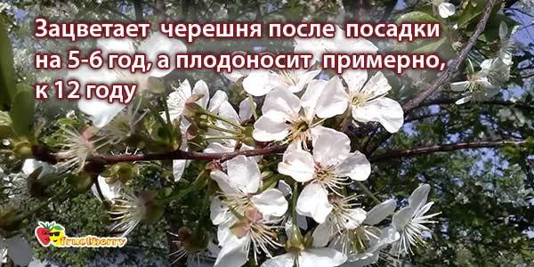 цветение-дерева