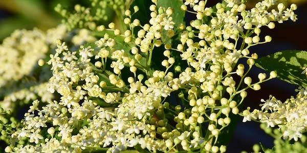 цветки-самбука-бузины
