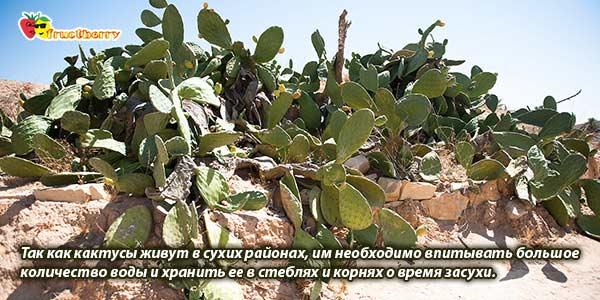Кактусы в Тунисе