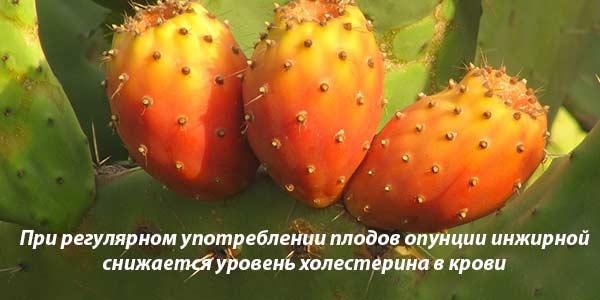 польза кактуса