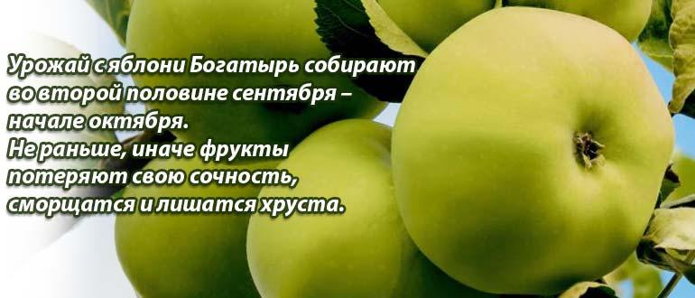 Сбор урожая Богатырь
