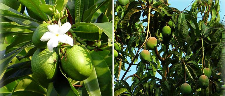 как растёт манго