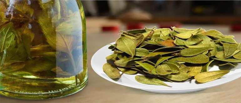 Листья брусники полезные свойства и противопоказания