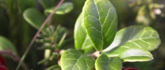 Листья брусники