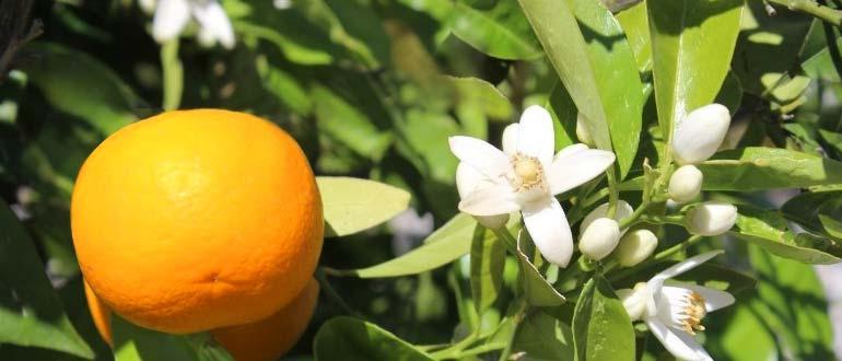 мандарины цветут