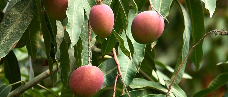 манго дерево