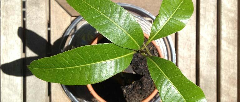 манго деревце