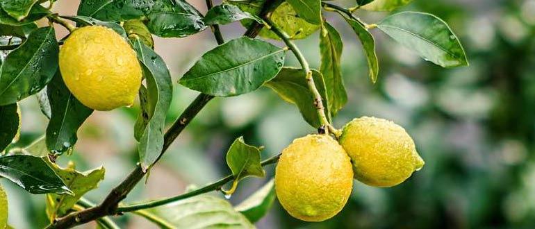 поливка лимона