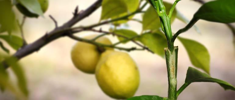 прививка в расщеп лимона