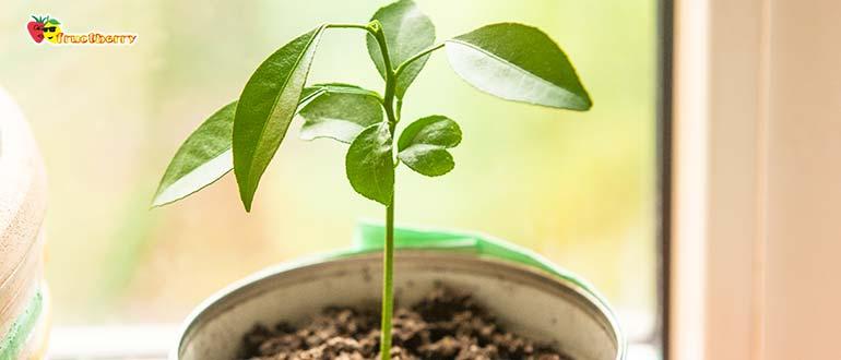 росток мандарина